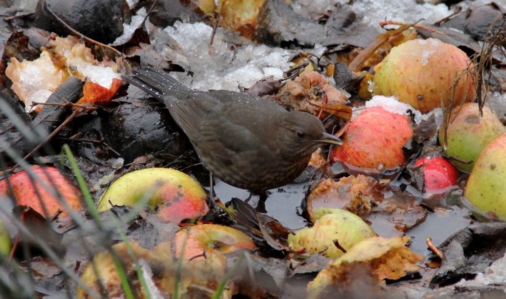 A female blackbird feeds on windfall apples