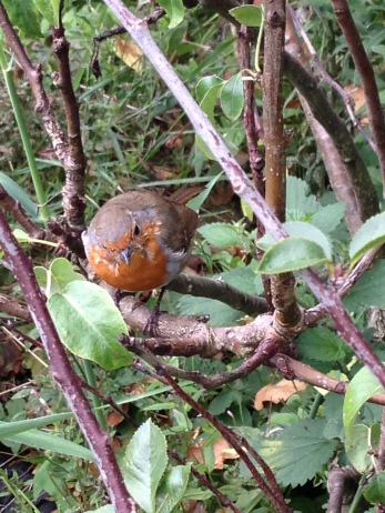 A robin sits and waits for worms to appear after the earth is turned over